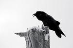 Common Raven (Corvus corax) calling from a dead tree on Hurricane Ridge, Olympic National Park, Olympic Peninsula, Washington, USA, March, 2009_WA_8190