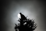 Golden Eagle, Aquila chrysaetos, Perched atop conifer, with sun emerging from low clouds, on Ptarmigan Ridge, Mount Baker-Snoqualmie National Forest in the North Cascades, Washington State, USA