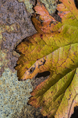 Autumn leaf found along South Fork Merced River in the Wawona Campground of Yosemite National Park, California, USA