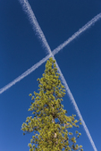 Contrails meeting overhead, making an X against the blue sky, viewed from the Wawona Campground, Yosemite National Park, California, USA