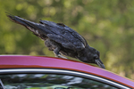 Common Raven, Corvus corax, foraging on and among the cars in a parking lot in Yosemite Valley, Yosemite National Park, California, USA