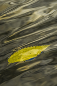 Floating American Elm, Ulmus americana, leaf with El Capitan reflections on the Merced River in Yosemite Valley, Yosemite National Park, California, USA