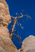 Dead Ponderosa Pine, Pinus ponderosa, among the rock formations along the Slot Canyon Trail at Kasha-Katuwe Tent Rocks National Monument in New Mexico, USA