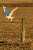 Snowy Owl, Bubo scandiacus, in March taking off from a fencepost in sunset light in  farm fields near the village of Rudyard in the Upper Peninsula of Michigan, USA
