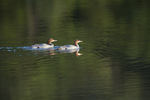Common Merganser (Mergus merganser) adult nonbreeding females (or possibly juveniles) on Imp Lake, Ottawa National Forest, Upper Peninsula, Michigan, USA, July, 2007_UP_0383