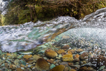 Underwater view of Pink Salmon, Oncorhynchus gorbuscha, on their spawning grounds in the Dungeness River, Olympic National Forest, Olympic Mountains, Washington State, USA