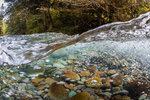 Underwater view of male Pink Salmon, Oncorhynchus gorbuscha, on spawning grounds in the Dungeness River, Olympic National Forest, Olympic Mountains, Washington State, USA