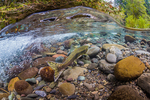 Underwater view of female Pink Salmon, Oncorhynchus gorbuscha, on spawning grounds in the Dungeness River, Olympic National Forest, Olympic Mountains, Washington State, USA