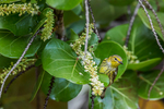 Cape May Warbler, Setophaga tigrina, female resting during migration and foraging in Sea Grapes, Coccoloba uvifera, in the interior of Fort Jefferson, Dry Tortugas National Park, Florida, USA