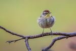 Palm Warbler, Dendroica palmarum, with fluffed feathers to stay warm during rest, from migrating at Fort Jefferson in Dry Tortugas National Park, Florida, USA