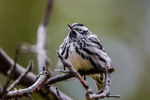 Black-and-White Warbler, Mniotilta varia, resting and feeding during a break from migration at Fort Jefferson in Dry Tortugas National Park, Florida, USA