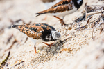 Ruddy Turnstones, Arenaria interpres, foraging during northward migration on a shell sand beach just outside Fort Jefferson on Garden Key in Dry Tortugas National Park, Florida, USA
