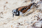 Ruddy Turnstone, Arenaria interpres, foraging during northward migration on a shell sand beach just outside Fort Jefferson on Garden Key in Dry Tortugas National Park, Florida, USA