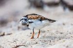Ruddy Turnstone, Arenaria interpres, grooming during northward migration on a shell sand beach just outside Fort Jefferson on Garden Key in Dry Tortugas National Park, Florida, USA