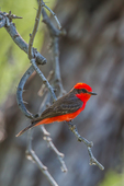 Vermilion Flycatcher, Pyrocephalus rubinus, adult male resting between flycatching flights in the Rio Grande Village area of Big Bend National Park, Texas, USA
