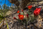 Scarlet Hedgehog Cactus, Echinocereus coccineus, blooming high in the Chisos Mountains of Big Bend National Park, Texas, USA