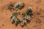 Easter Daisy, Townsendia incana, aka Silvery Townsendia and Hoary Townsendia, blooming along the trail near the House on Fire ruin in the South Fork of Mule Canyon in the (proposed, as of 2016) Bears Ears National Monument, near Blanding, Utah, USA