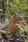 Swarming bees at an intermediate stop when looking for a new home for the colony, along the trail to the House on Fire ruins in the South Fork of Mule Canyon in the (proposed, as of 2016) Bears Ears National Monument, near Blanding, Utah, USA