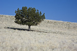 A lone Western Juniper (Juniperus occidentalis) stands in the grasslands in Diamond Craters Outstanding Natural Area, Burns District, Bureau of Land Management, Oregon, April, 2009_OR_0484