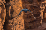 California Condor, Gymnogyps californianus, adult male 54 flying near Navajo Bridge over Marble Canyon and the Colorado River, at the border of Glen Canyon National Recreation Area and the Navajo Nation, Arizona, USA