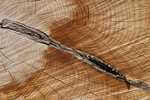 Cross-section showing growth rings and chain saw marks in Western Juniper (Juniperus occidentalis), cut to improve range and reduce fire hazard along the route of the Kiger Wild Horse Viewing Area Road, Burns District of the Bureau of Land Management, Oregon, USA, April, 2009_OR_0615