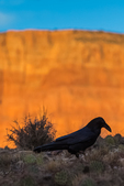 Common Raven, Corvus corax, against the Vermilion Cliffs in bright morning light viewed from Lees Ferry Campground in Glen Canyon National Recreation Area, Arizona, USA