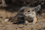 White-tailed Antelope Squirrel, Ammospermophilus leucurus, at the Bureau of Land Management's Grimes Point Archaeological Area near Fallon, Nevada, USA