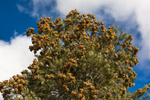 Singleleaf Pinyon Pine, Pinus monophylla, with a huge crop of cones and seeds in the Toquima Range, Humbolt-Toiyabe National Forest, Nevada, USA