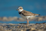 Wilson's Plover, Charadrius wilsonia, adult feeding along salt water beach of lagoon at Tigertail Beach Park on Marco Island, Naples, Florida, USA