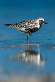 Black-bellied Plover, Pluvialis squatarola, along the salt water beach of a lagoon at Tigertail Beach Park on Marco Island, Naples, Florida, USA
