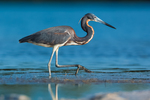 Tricolored Heron, Egretta tricolor, feeding in shallow salt water at Tigertail Beach Park on Marco Island, Naples, Florida, USA