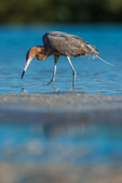 Reddish Egret, Egretta rufescens, adult in dark morph plumage foraging for small fish in the shallow saltwater lagoon at Tigertail Beach Park on Marco Island, Naples, Florida, USA