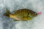 Bluegill, Lepomis macrochirus, aka sunfish and Bream, caught, then released while ice fishing at Lake of the Clouds, Canadian Lakes, Stanwood, Michigan, USA