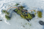 Pine branch stuck into ice fishing hole as a visual safety marker on Lake of the Clouds, Canadian Lakes, Stanwood, Michigan, USA