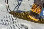 Gently holding down a Northern Pike, Esox lucius, with a boot to prevent flopping while removing a hook deep in the pike's mouth  while ice fishing on Lake of the Clouds, Canadian Lakes, Stanwood, Michigan, USA