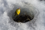 Bluegill, Lepomis macrochirus, aka sunfish and Bream, caught, then released while ice fishing at Lake of the Clouds, Canadian Lakes, Stanwood, Michigan, USA [No property release for fishing lure; available for editorial licensing only]
