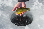 Pumpkinseed, Lepomis gibbosus, sunfish caught and later released while ice fishing at Lake of the Clouds, Canadian Lakes, Stanwood, Michigan, USA