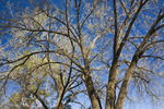 One of the giant cottonwoods that shelter birds at the Malheur National Wildlife Refuge headquarters complex, eastern Oregon, USA, April, 2009_OR_0733