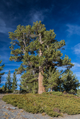Limber Pine, Pinus flexilis, near Stella Lake along the Alpine Lakes Loop Trail in the Snake Range of Great Basin National Park, Nevada, USA