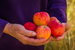 Apples gathered from an old homestead tree in Lower Lehman Creek Campground in Great Basin National Park, Nevada, USA