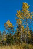 Autumn color in a Trembling Aspen, Populus tremuloides, aka Quaking Aspen, grove in Lower Lehman Creek Campground, Great Basin National Park, Nevada, USA