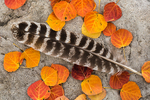 Wild Turkey, Meleagris gallopavo, feather with Trembling Aspen, Populus tremuloides, leaves in autumn color in Great Basin National Park, Nevada, USA