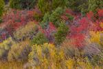 Desert Sumac, Rhus trilobata, aka Squawbush and Skunkbush, in autumn color with rabbitbrush along the Wheeler Peak Scenic Drive in Great Basin National Park, Nevada, USA