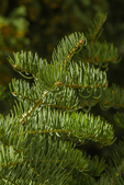 White Fir, Abies concolor, branches and needles close-up in Great Basin National Park, Nevada, USA