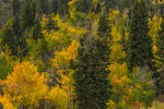 Autumn forest of White Fir, Abies concolor, and Trembling Aspen, Populus tremuloides, in Great Basin National Park, Nevada, USA