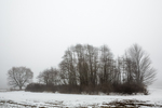 Sassafras, Sassafras albidum, and other trees during a January thaw on a foggy day in central Michigan, USA