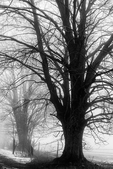 Sugar Maple, Acer saccharum, trees along a country road during a January thaw on a foggy day in central Michigan, USA