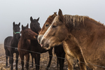 Amish work horses socializing on a day off from work in a central Michigan farm field, during a foggy winter day, USA