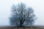 Maple tree with a woodlot in the fog behind, in a farm field in central Michigan, during a January thaw, USA