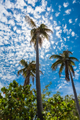 Palm trees and beautiful clouds in Bahia Honda State Park, Florida Keys, USA